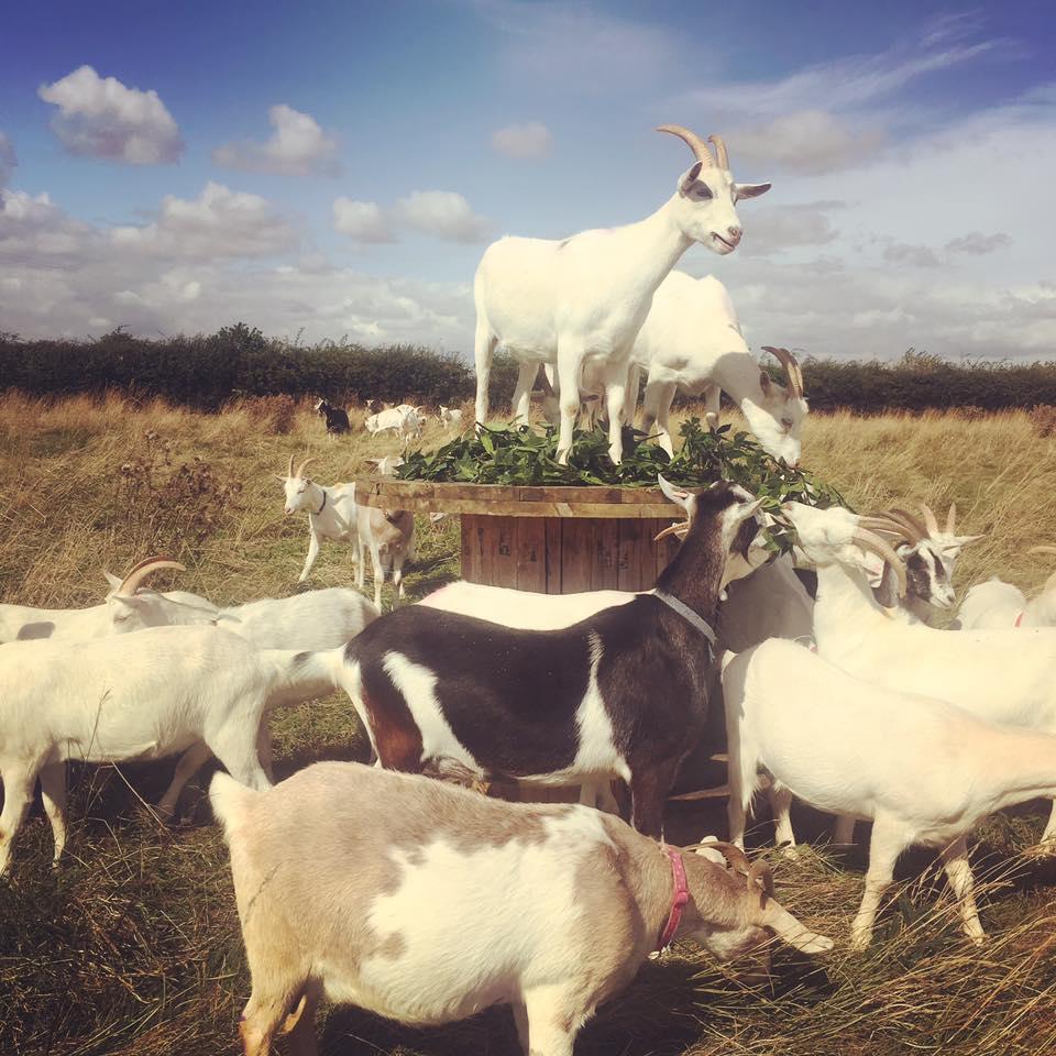 saanen goats1